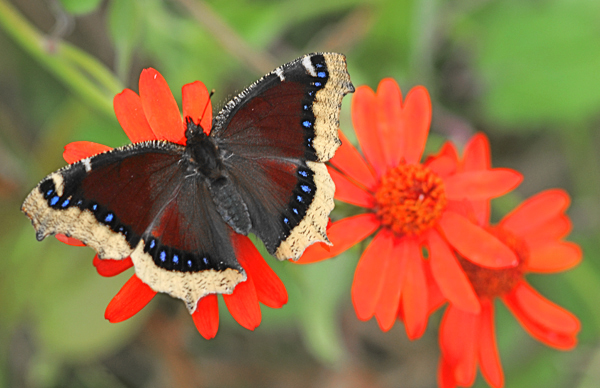 Mourning Cloak's… A Joy to Behold!
