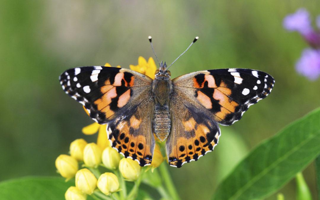Raise Butterflies For Your Homeschool Life Science Curriculum