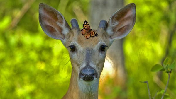 Deerweed is not just for Deer…