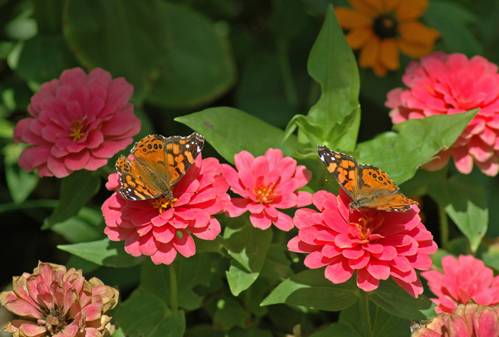 Raising Painted Lady Butterflies