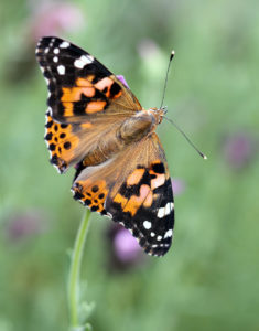 Painted Lady Butterfly Spring Contest