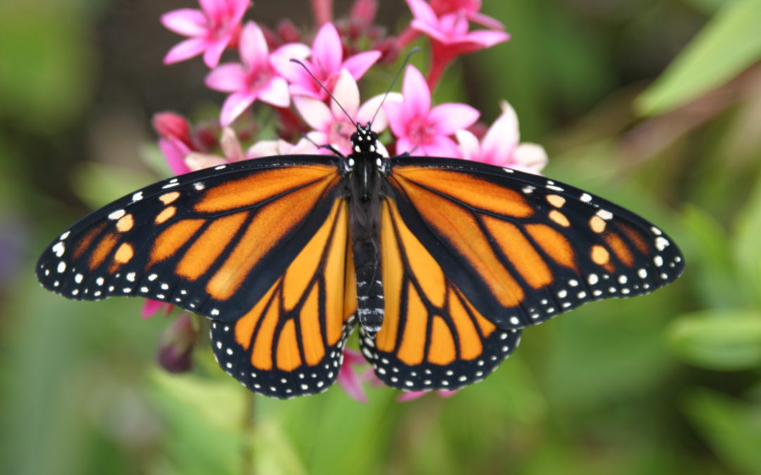 Western Monarch Butterfly Day