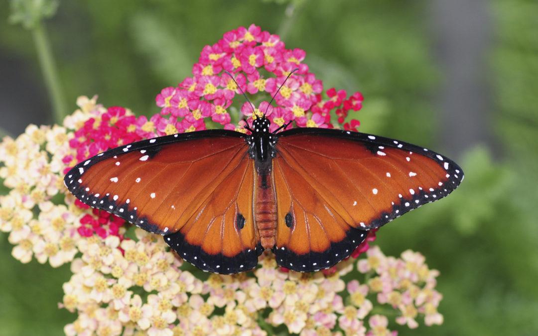 California Butterfly Dreamin'
